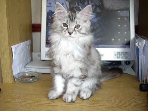 CandyCoon co uk Maine Coon Cats